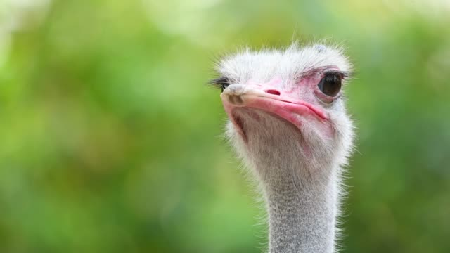 ostrich portrait - animal eye stock videos & royalty-free footage