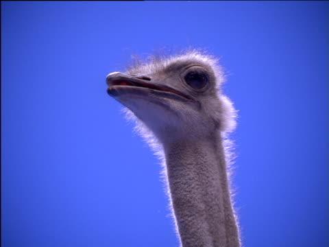 ostrich swallows and yawns - gähnen stock-videos und b-roll-filmmaterial