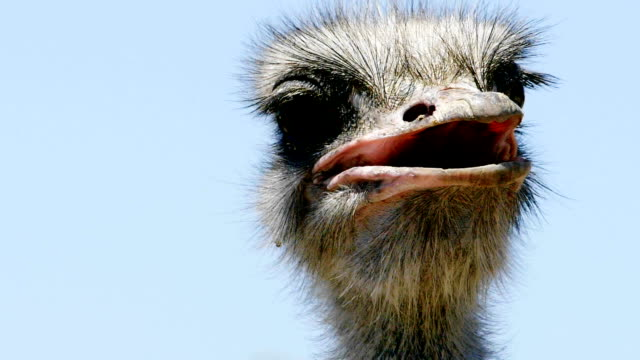 ostrich - ugliness stock videos & royalty-free footage