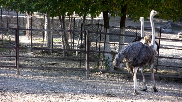 ostrich (hd) - 2008 stock videos and b-roll footage