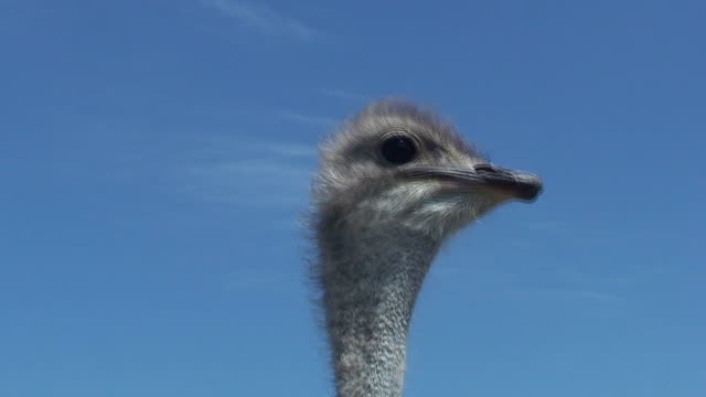ostrich - 2010 stock videos and b-roll footage