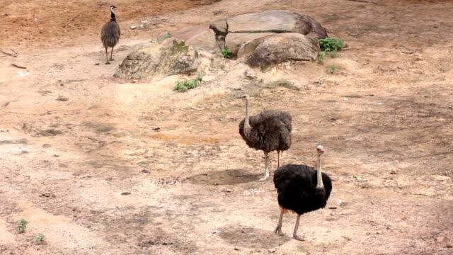 vídeos y material grabado en eventos de stock de avestruz - cuello de animal