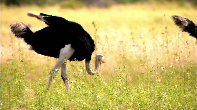 Ostrich walking and pecking at grass / looking up