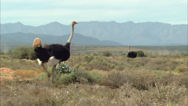 ms, pan, ostrich walking on plain, south africa - the karoo stock videos & royalty-free footage