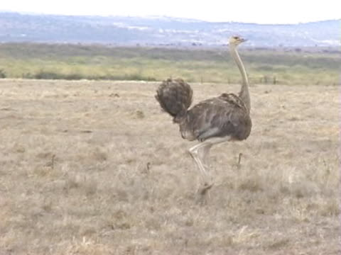 ws ostrich walking with chicks  - cinque animali video stock e b–roll