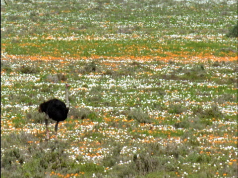 Ostrich (Struthio camelus) walks amongst veldt flowers, Namaqualand, South Africa