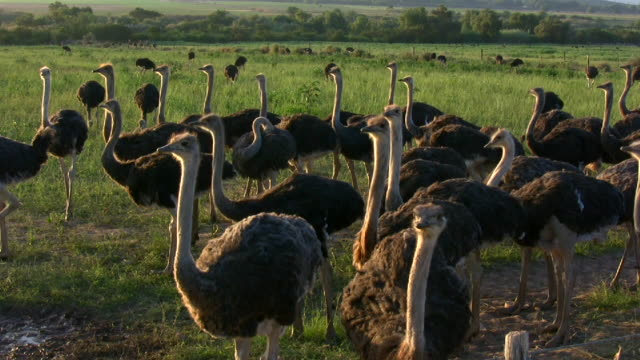 hd 1080  ostriches 8 - group of animals stock videos & royalty-free footage