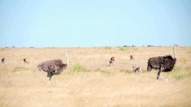 WS PAN Ostriches And Gazelles In Savannah