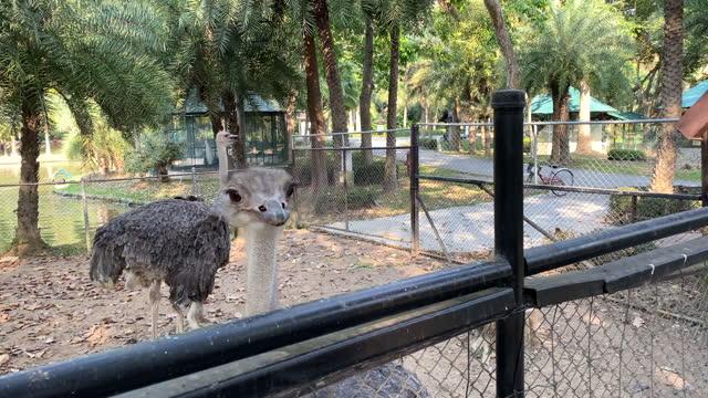 stockvideo's en b-roll-footage met struisvogels boerderij in thailand - domestic animals