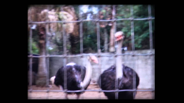 1980 ostriches in captivity - captive animals stock videos & royalty-free footage