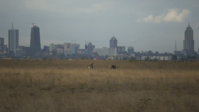 ostriches in front of nairobi skyline, kenya - nairobi stock videos and b-roll footage