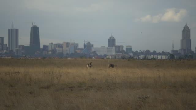 Ostriches in front of Nairobi Skyline, Kenya