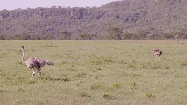 Ostriches in Lake Nakuru, Kenya