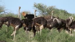Ostriches in natural habitat