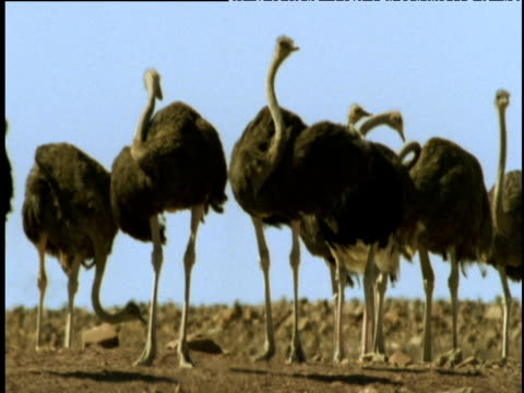 ostriches preen, namibia - animal neck stock videos & royalty-free footage