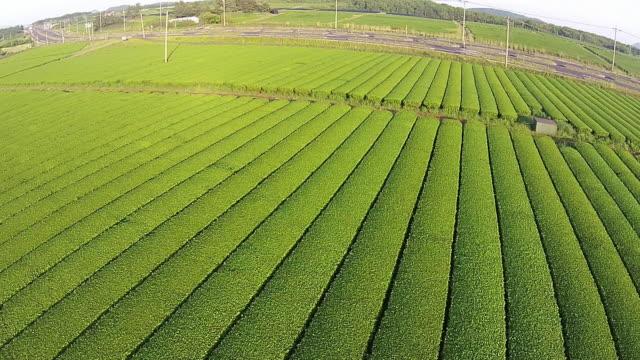 Osulloc green tea field in Jeju Island