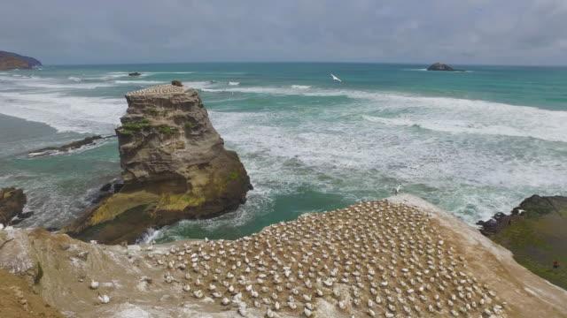 vídeos de stock, filmes e b-roll de otakamiro point gannet colony. - coluna de calcário marítimo