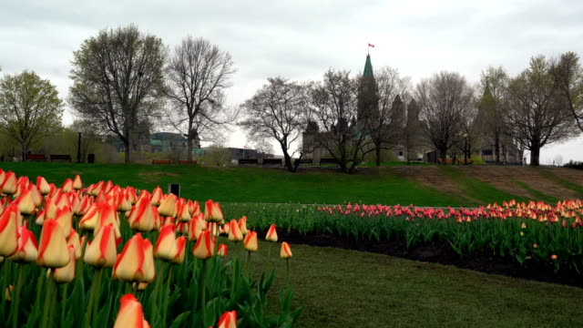 ottawa tulips - ottawa stock videos & royalty-free footage