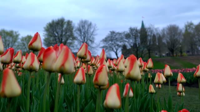 vídeos y material grabado en eventos de stock de los tulipanes de ottawa - colina del parlamento ottawa