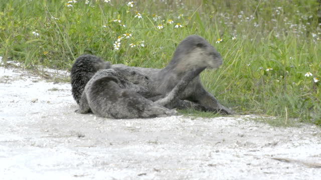 otter and her two pups rolling in the sand - otter stock videos and b-roll footage