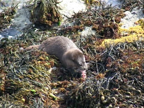 otter  big wide zoom to mid shot. - hebrides stock videos & royalty-free footage