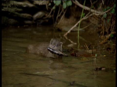 otter carries branch through water to bank then drops it and walks away, devon - ユーラシアカワウソ点の映像素材/bロール