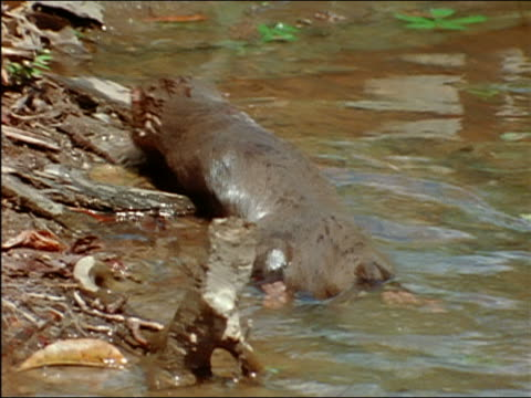 otter crawling out of river onto bank with coatimundi foraging for food / amazon - foraging stock videos & royalty-free footage