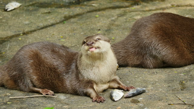 Otter eating a fish on ground.