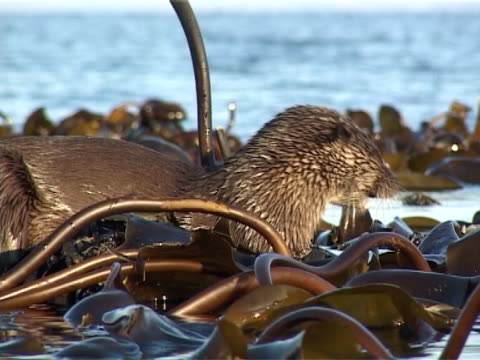 otter  cu eating fish on seaweed, leaves view as enters water - hebrides stock videos & royalty-free footage