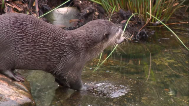 otter eating food in shallow water - europäischer fischotter stock-videos und b-roll-filmmaterial