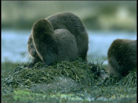 otter family at rest on rocks, western scotland - ユーラシアカワウソ点の映像素材/bロール