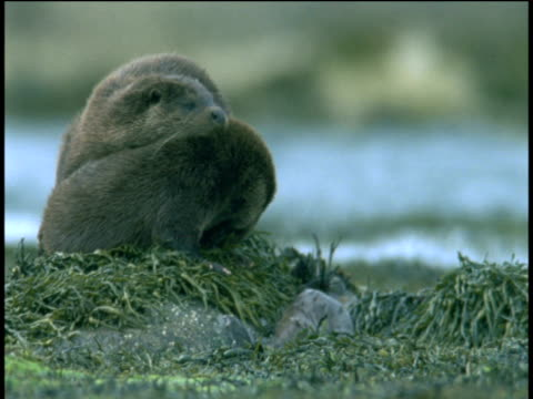 otter family rest on seaweed covered rocks before diving into the water, western scotland - meeresalge stock-videos und b-roll-filmmaterial