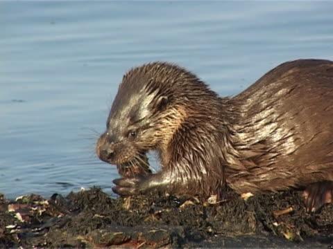 otter feeding on crab - ユーラシアカワウソ点の映像素材/bロール