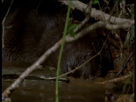otter forages under rock in stream, devon - europäischer fischotter stock-videos und b-roll-filmmaterial
