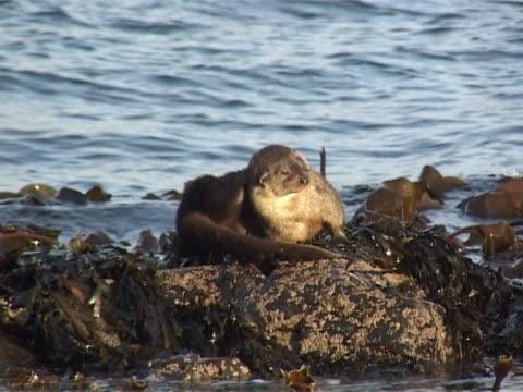 otter grooming on rocky shore - europeisk utter bildbanksvideor och videomaterial från bakom kulisserna