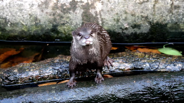 otter in the pond - otter stock videos and b-roll footage