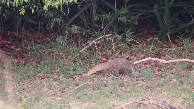 otter living in the forest khao yai national park, nakhon ratchasima, thailand. - european otter stock videos & royalty-free footage