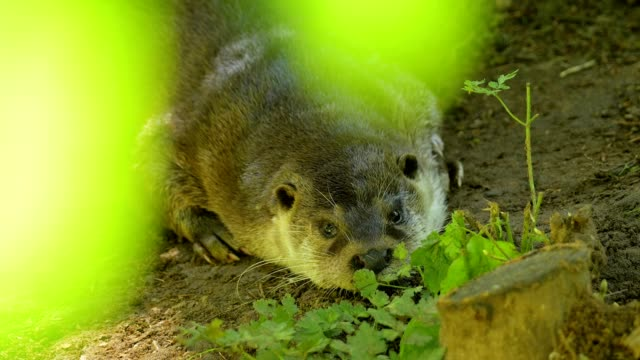 otter, lutra lutra - european otter stock videos & royalty-free footage