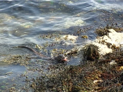otter  mcu bringing red fish to shore - hebrides stock videos & royalty-free footage