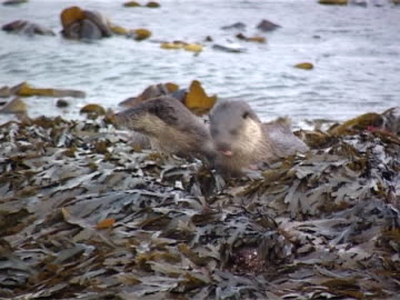 otter mcu & cub, rubbing & grooming, mother briefly grooms cub, leave frame r into water - hebrides stock videos & royalty-free footage