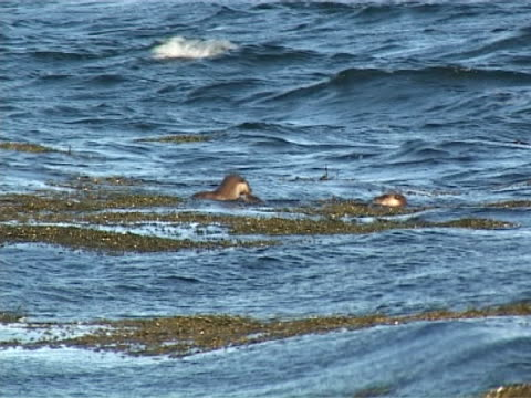 otter mws family of otters playing in choppy waves - europäischer fischotter stock-videos und b-roll-filmmaterial