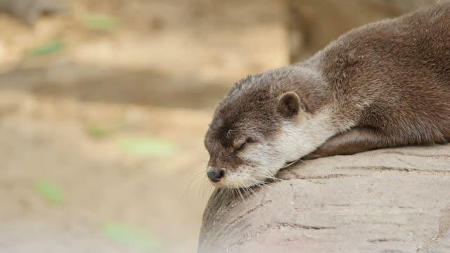 Otter op de grond rusten.