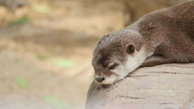 Otter resting on ground.