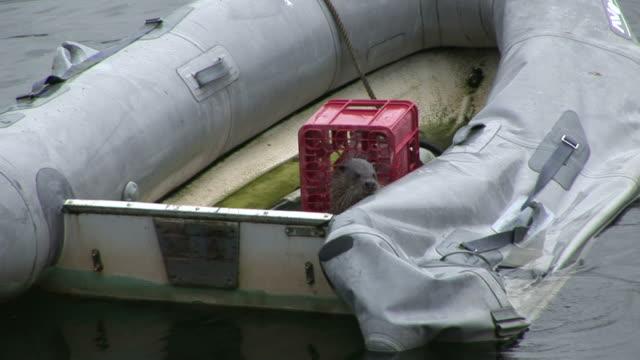 otter (lutra lutra) roaming on small rigid hull-áinflatable boat. tobermory. mull. uk. 22/07/08 - hebriderna bildbanksvideor och videomaterial från bakom kulisserna