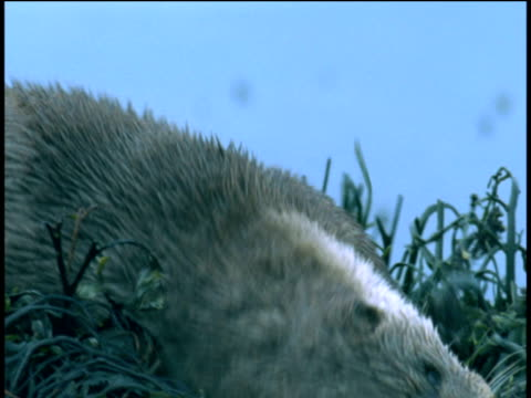 otter rolls in seaweed, western scotland - european otter stock videos & royalty-free footage
