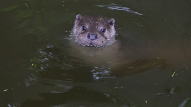 4k: otter swimming - close up - otter stock videos and b-roll footage