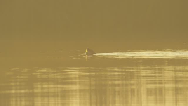 vídeos y material grabado en eventos de stock de otter swimming dives under water sunset ms yosemite - nutria de río
