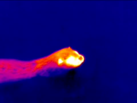 otter (lutra lutra) swimming, thermography.. - european otter stock videos & royalty-free footage
