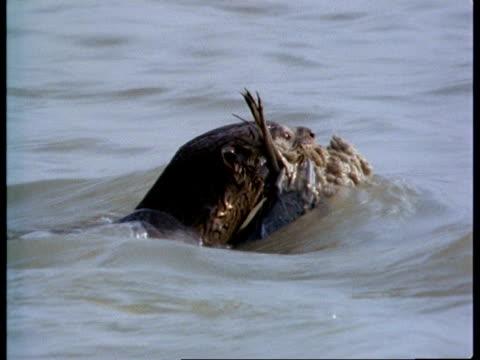 cu otter swimming with fish in mouth, india - カワウソ点の映像素材/bロール