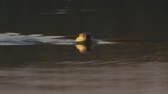 vídeos y material grabado en eventos de stock de otter swimming ms yosemite - nutria de río
